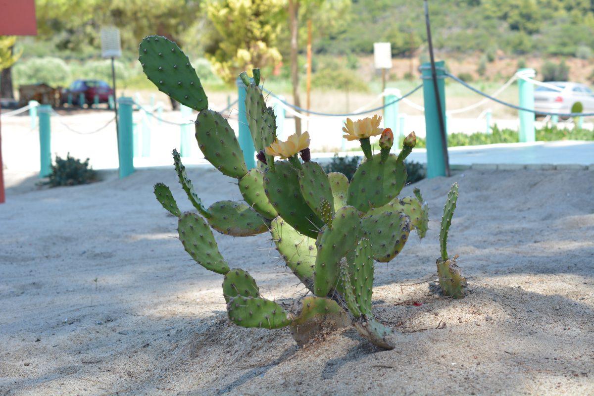strand kaktus