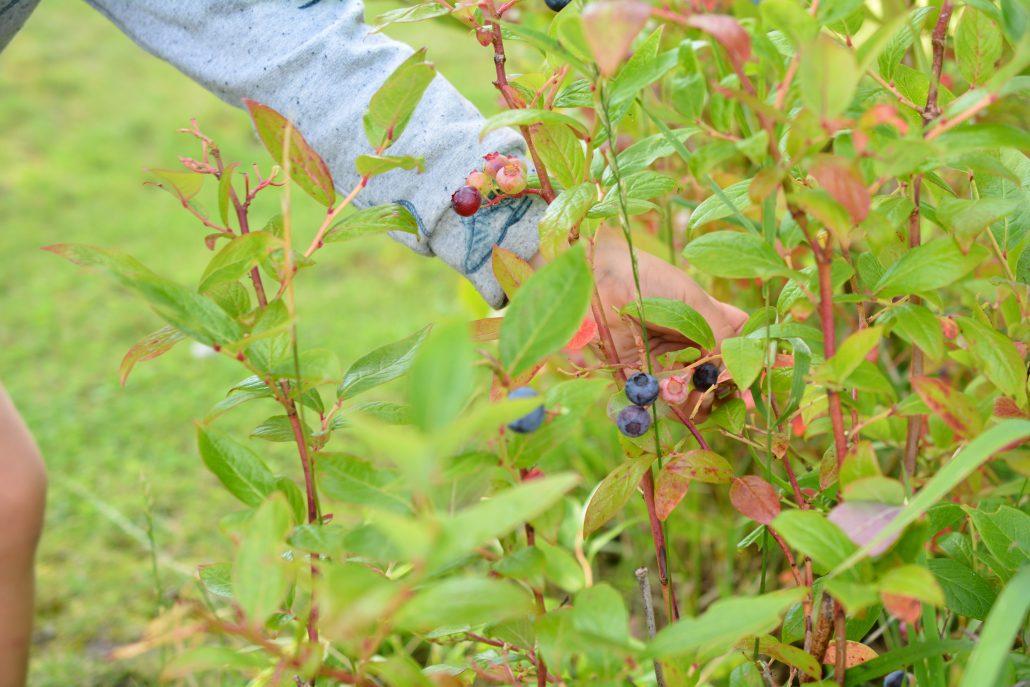 sommer blåbær2