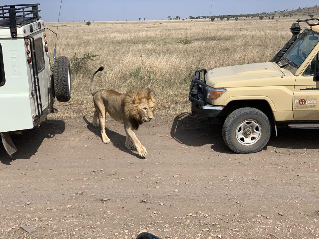 Afrika teltlejr safari løve