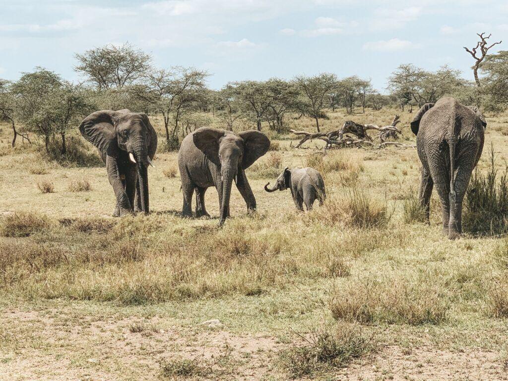Afrika teltlejr safari elefanter